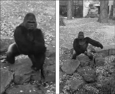 德国动物园大猩猩朝拍照游客扔石头