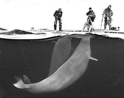 白鲸简笔画_鲸鱼鼻子简笔画_鲸鱼张嘴简笔画_鲸鱼