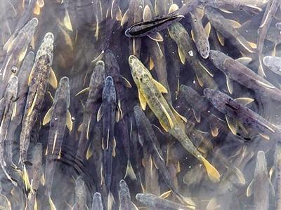 在黄河上游放流鱼儿