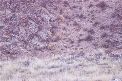 世界濒危动物豺现身柴达木盆地南缘地区