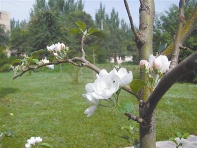 记者在网上搜索时发现,果树在秋天开花的现象在很多地方出现过.