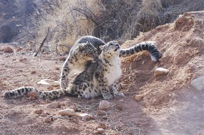 西宁野生动物园雪豹饲养