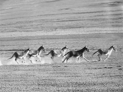 德令哈珍稀野生动物种群保护见成效