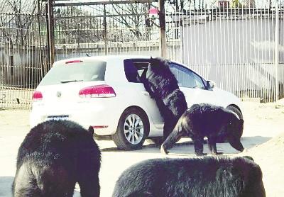 八达岭野生动物园黑熊探入自驾车窗