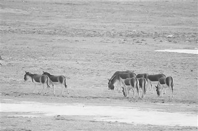 三江源国家公园频现成群野生动物